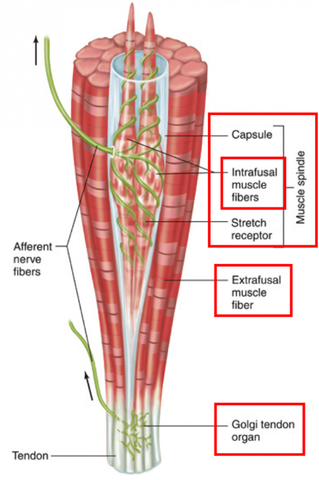 How to Use a Foam Roller | EDS and Chronic Pain News & InfoEDS and Chronic Pain News & Info
